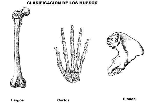 Huesos planos cuerpo humano