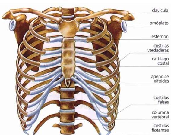 Huesos planos frontales